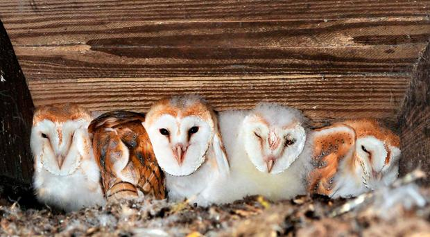 The five owlets, the largest brood recorded here