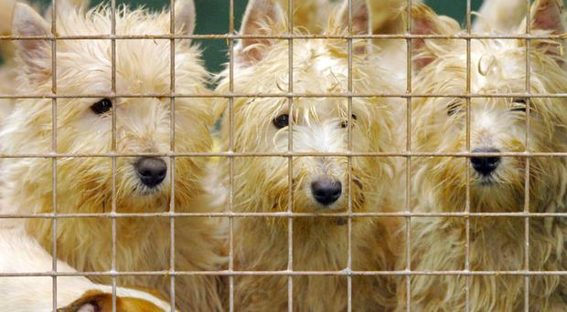 Legislation against the 'miserable' puppy farm trade has been stymied by the Stormont limbo