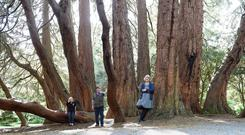 The multi-stemmed giant sequoia at Castlewellan Forest Park