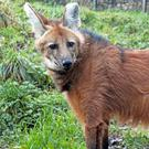 Wendy has joined the maned wolf population at Belfast Zoo