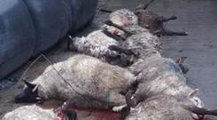 Sickening sight: Some of the sheep killed in the Keady attack