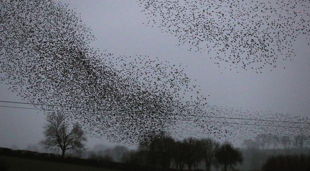 A murmuration of starlings in Nobber, Co. Meath.