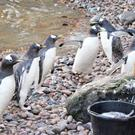 Head count: a staff member counts the penguins in their enclosure