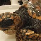 Undated handout photo courtesy of Exploris Aquarium, of a critically ill rare turtle that is being cared for at a Co Down seal sanctuary.