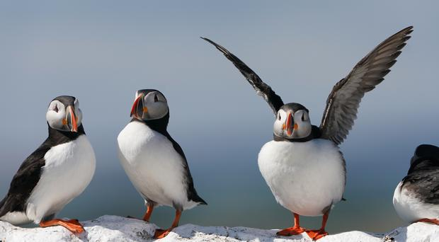 Seabirds such as puffins are at risk from invasive predators such as rats (Owen Humphreys/PA)