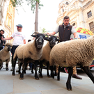 A flock of sheep is herded past Government buildings in Whitehall by Farmers for a People's Vote