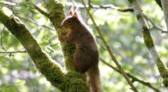 A red squirrel caught on camera by Ballygally Biodiversity Group