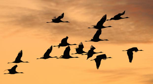 A crane flock at sunrise