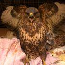 A bird of prey is recovering after being shot three times in Co Tyrone