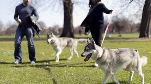 A pair of Siberian huskies are walked in the warm weather in Hyde Park, London, as Britain could bask in the warmest weather of the year this weekend as temperatures soar to 19C (66.2F).