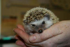 Belfast Zoo's John Fisher says the event centres on conserving wildlife like the hedgehog