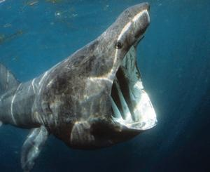 Environmentalists are excited that a basking shark has been spotted in Strangford Lough.