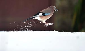 In England, a jay skips through the snow in Kielder Forest