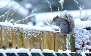 A squirrel hunts for food in gardens in west Belfast