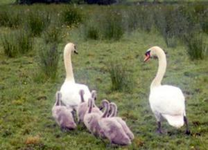 The family of swans