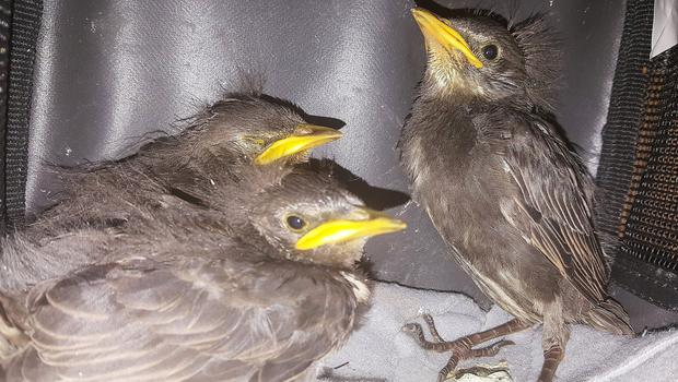 Some of the little starling chicks which have been rescued by Debbie Nelson