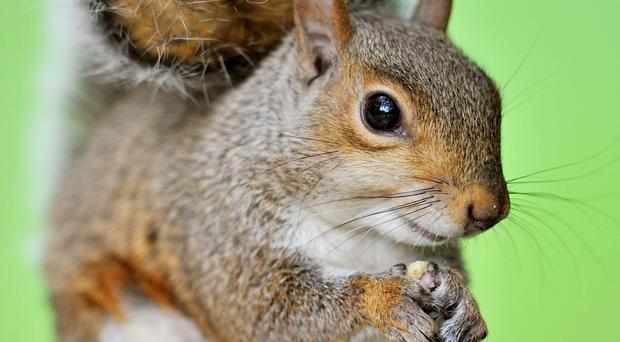A report has been commissioned to examine ways of controlling grey squirrels at council properties in north Down.