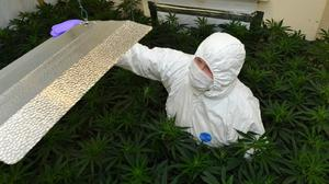 A police worker examines a cannabis factory that was discovered in Portadown, Northern Ireland (PSNI/PA)