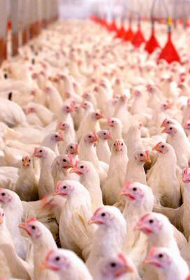 Poultry fear: avian flu is a constant threat to farms