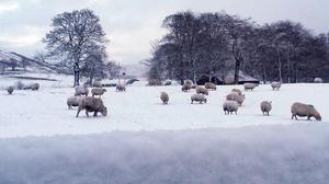Sheep in a field near Carronbridge, Central Scotland, as cold weather hits the UK