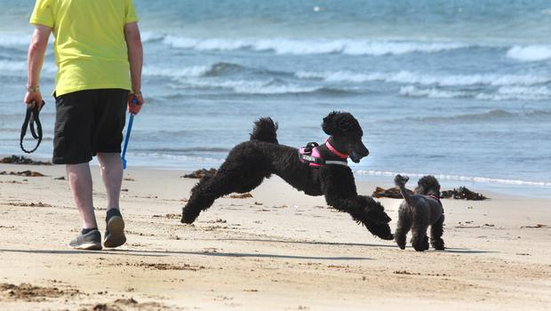 Poodles play and paddle at Benone Strand in Co-Derry as temperatures soar to mid-twenties on Wednesday. Picture Margaret McLaughlin 23-5-18
