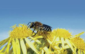 The northern colletes bee is classified as rare - it was spotted on the north coast by Patrick Barton
