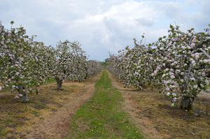 The apple orchards in full bloom at Long Meadow farm