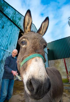 Raymond Semple with his beloved donkey Daisy yesterday