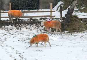 Sheep try to graze after a blizzard in the Glenshane Pass in Co Derry yesterday