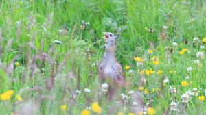 A calling corncrake captured on camera this summer by wildlife photographer Ronald Surgenor. (Ronald Surgenor/PA)