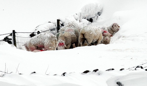 Sheep huddle together in the hills above the Glens of Antrim