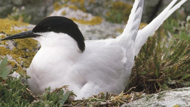 The roseate tern is on the brink of extinction here, with just one pair breeding on Larne Lough last year