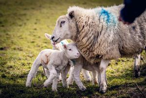 Lambs on the McAuley family farm in Co Antrim