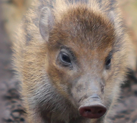 The little Visayan warty pig at Belfast Zoo