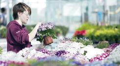 Sally Hughes, a Level 2 Floristry student at Cafre's Greenmount College, tends to her flowers