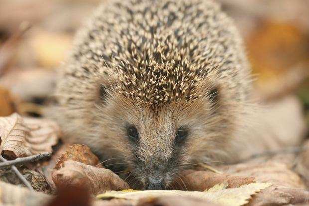 Environment Minister Mark H Durkan has launched a drive to save our hedgehogs