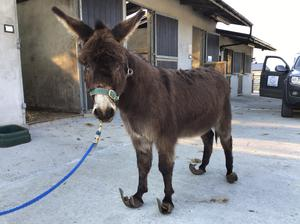 A donkey with the severely overgrown hooves was found abandoned and in severe pain, The sanctuary has named him 'Blue' (Donegal Donkey Sanctuary/PA)