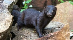 The Department of Agriculture said it had been 'working closely' with the operators of Ireland's three mink farms to address any potential risks (Scottish Natural Heritage/PA)