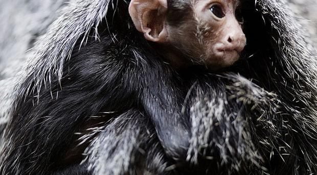 The newborn white-faced saki monkey weighed about five ounces when born four weeks ago (PA/Dublin Zoo)