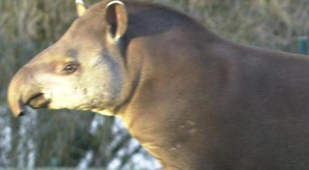 Dublin Zoo said the incident involving the tapir was 'an unfortunate accident'