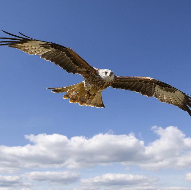 A red kite was found dead in a reservoir from lethal poison