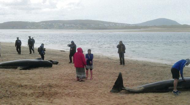 A group of locals go to the rescue of whales after they were spotted on the strand at Falcarragh, Co Donegal