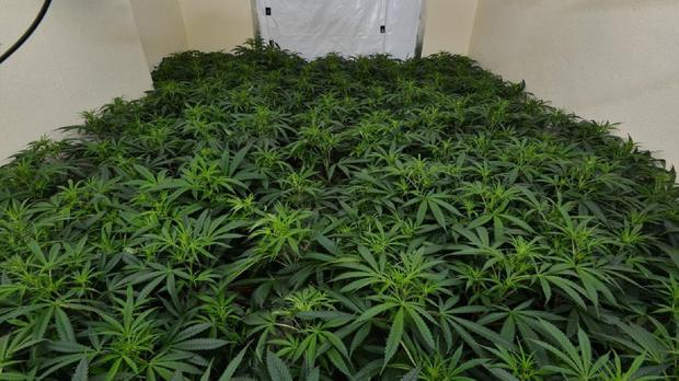 Eight hundred plants and 30 kilos of cannabis herb were recovered in the raid on a building in Ballyshannon, Co Donegal