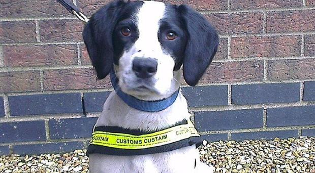 Sniffer dog Casey who found eight million black market cigarettes (Revenue Customs Service/PA)