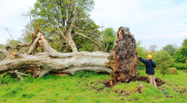 The skeletal remains were discovered after this beech tree was blown over