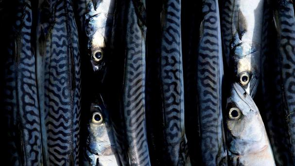 The super-trawler fishes for herring, mackerel and scad