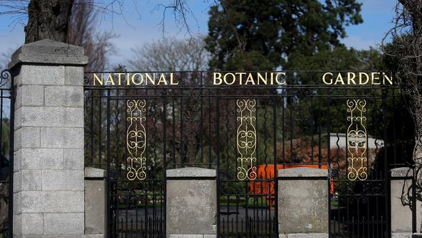 Unsuccessful attempts were made in Dublin's Botanic Gardens to germinate seeds collected from the tree