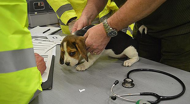 One of the puppies rescued (RSPCA/PA)