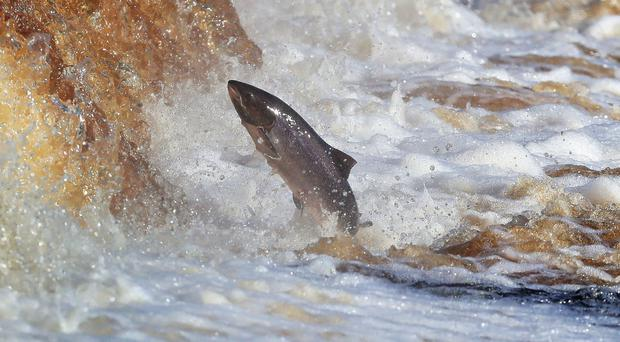 Sixty-five farmed salmon have been caught in Galway and Mayo rivers since August
