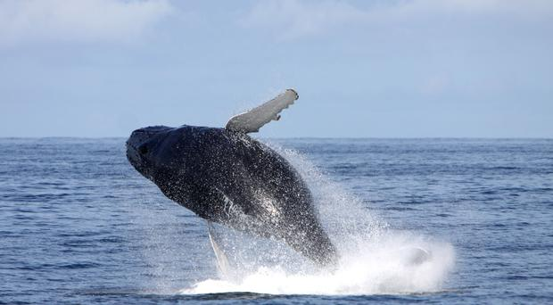 Humpback whale sightings